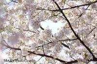 0904sakura009_7