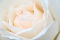 Rose091001