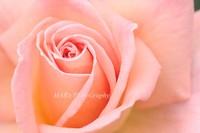Rose091002
