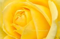 Rose091003