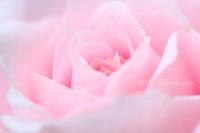 Rose091004