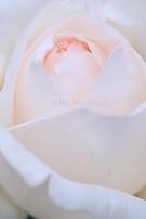 Rose091005
