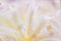 Lycoris090017_2