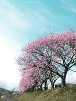 Sakura002_2