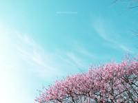 Sakura003_2