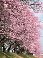 Sakura005