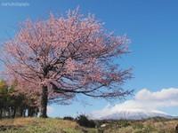 Sakura021
