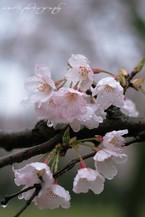 Sakura042