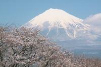 Sakura051