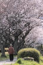 Sakura063