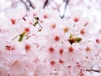 Sakura022