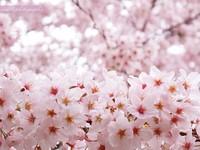 Sakura024