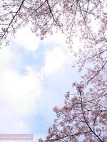 Sakura031