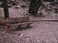 Sakura041