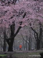 Sakura047