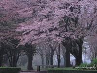 Sakura048