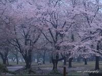 Sakura049