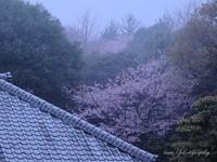 Sakura050