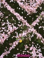 Sakura064