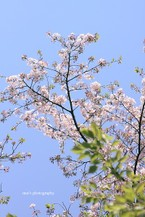 Sakura071