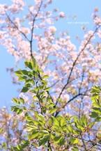 Sakura072