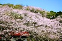 Sakura080