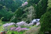 Sakura081