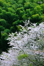 Sakura082