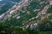 Sakura083_3