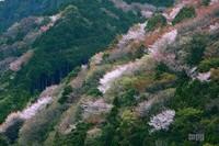 Sakura084