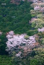 Sakura085_2