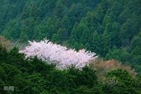 Sakura086