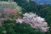 Sakura087