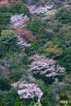 Sakura088