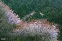 Sakura089