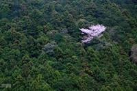 Sakura090