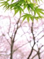 Sakura112