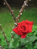 Rose001