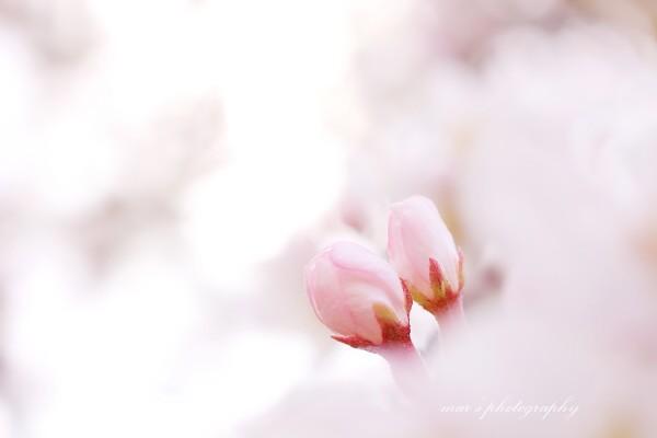 Sakura003